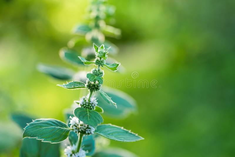Kwiatonośnej rośliny miętówka w ogródzie fotografia stock