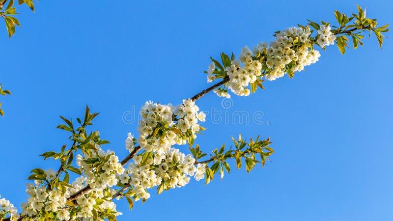 Kwiatonośnej wiśni gałąź fotografia stock