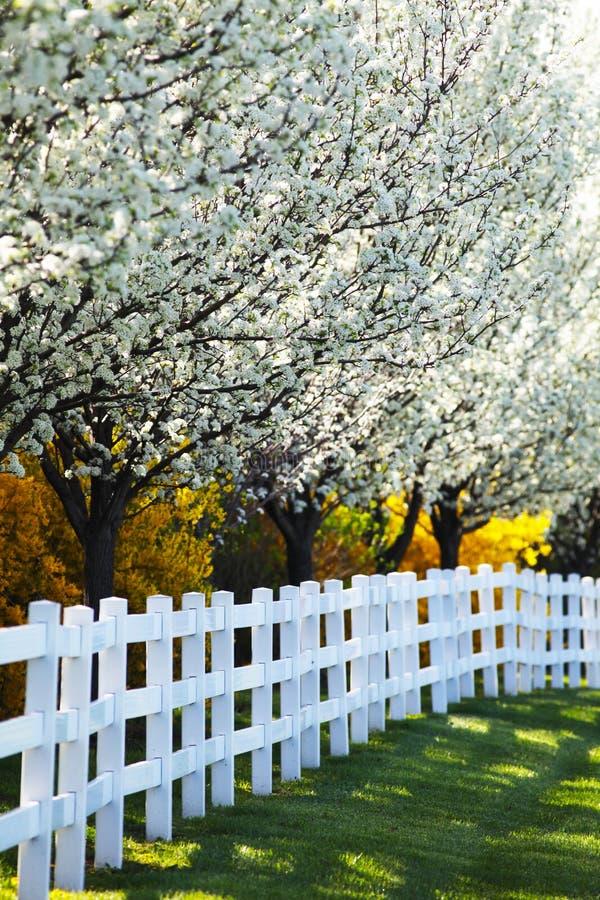 Kwiatonośni bonkret drzewa, forsycje wzdłuż białego ogrodzenia w wiośnie i obraz royalty free