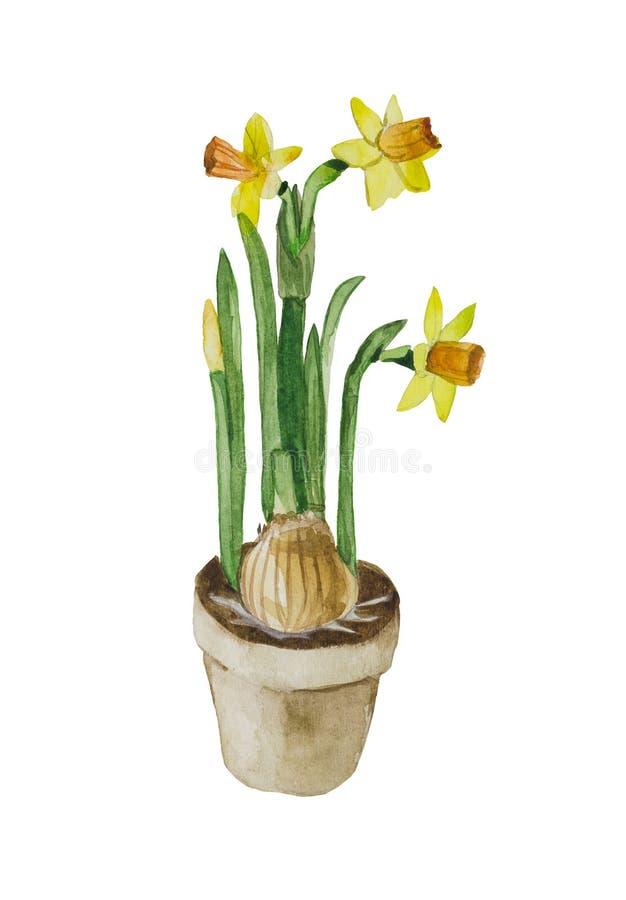 Kwiatonośni daffodils z żarówką w garnku ilustracji