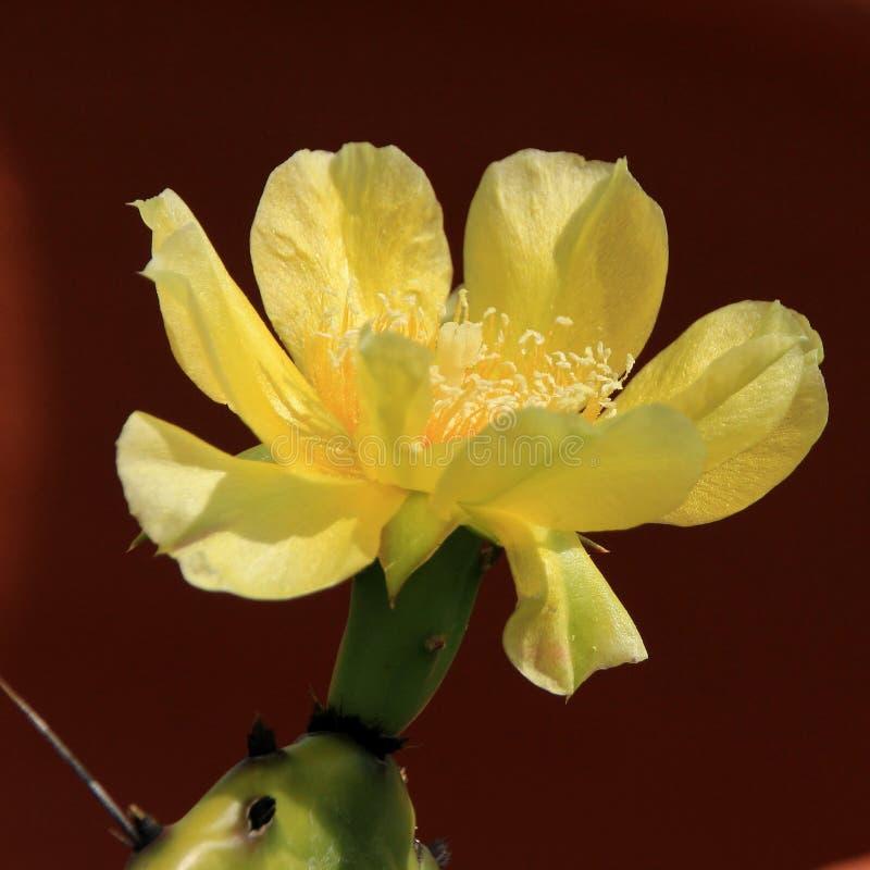 Kwiatonośni kaktusy zdjęcia royalty free