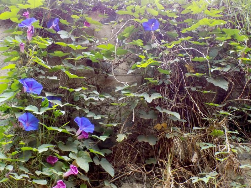 Kwiatonośni pełzacze na skalistej ścianie fotografia royalty free
