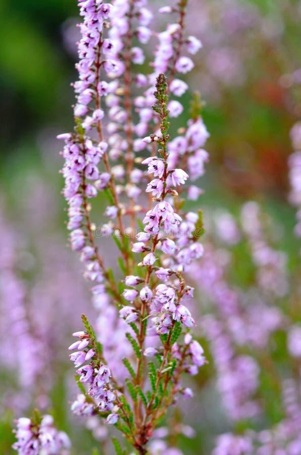 Kwiatonośni wrzosy fotografia stock