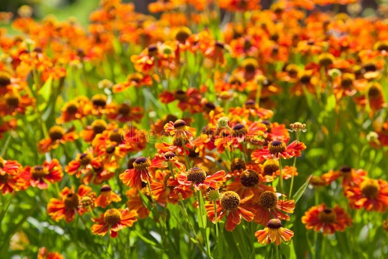 Kwiatonośny łóżko galardia kwiat obraz royalty free