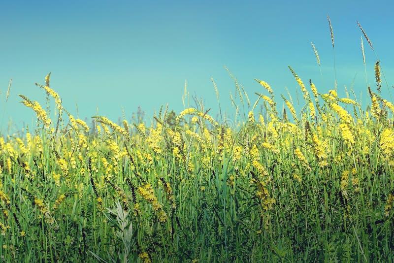 Kwiatonośny łąki pole w lato żółtych kwiatach Agrimony leczniczy zdjęcia royalty free
