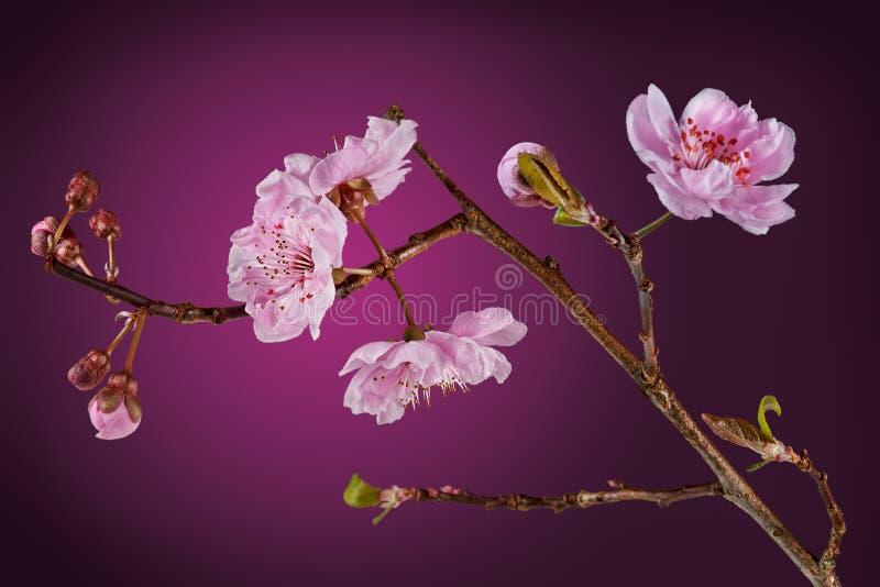 kwiatonośny śliwkowy drzewo fotografia stock
