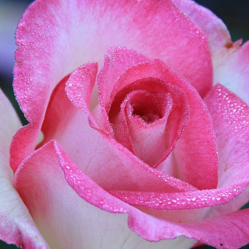 Kwiatonośny świst wzrastał zdjęcie stock