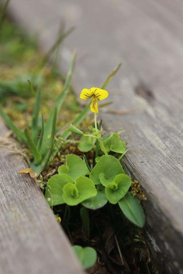 Kwiatonośny altówki biflora arktyczny żółty fiołek obraz royalty free