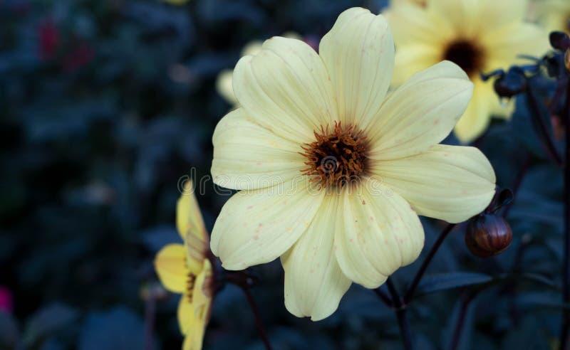 Kwiatonośny beżowy kwiat w ogródzie na niezwykłym tle w ogródzie fotografia stock