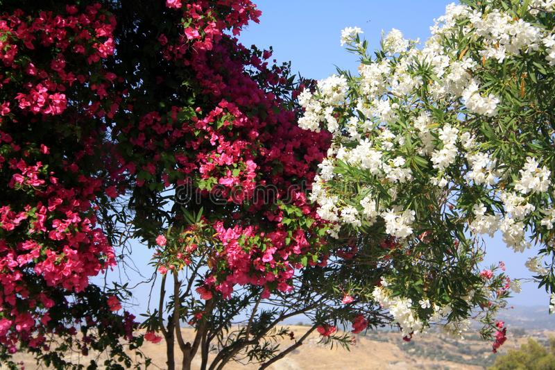 Kwiatonośny biały i różowy oleander Okwitnięcie oleanderu fragrant kwiaty zdjęcie stock