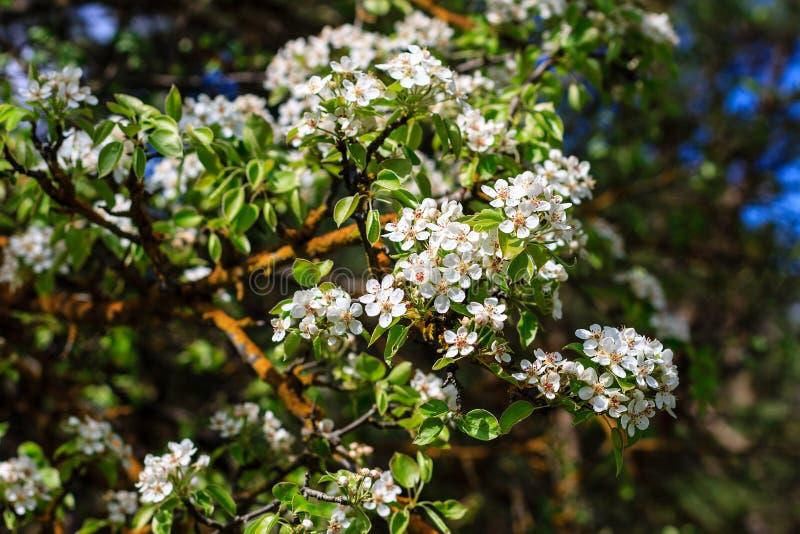 Kwiatonośny bonkrety drzewo w wczesnej wiośnie z niebieskim niebem w backgro zdjęcie stock