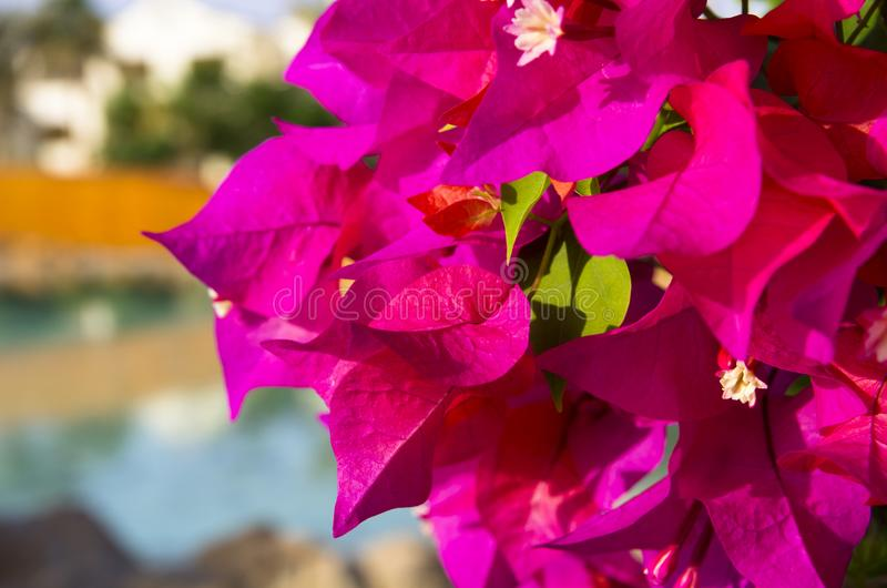 Kwiatonośny bougainvillea jaskrawy kolor zdjęcie royalty free