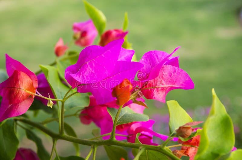 Kwiatonośny bougainvillea jaskrawy kolor obrazy royalty free