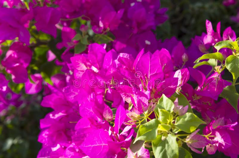 Kwiatonośny bougainvillea jaskrawy kolor obrazy stock