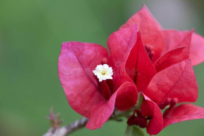 Kwiatonośny bougainvillea makro- zdjęcia stock