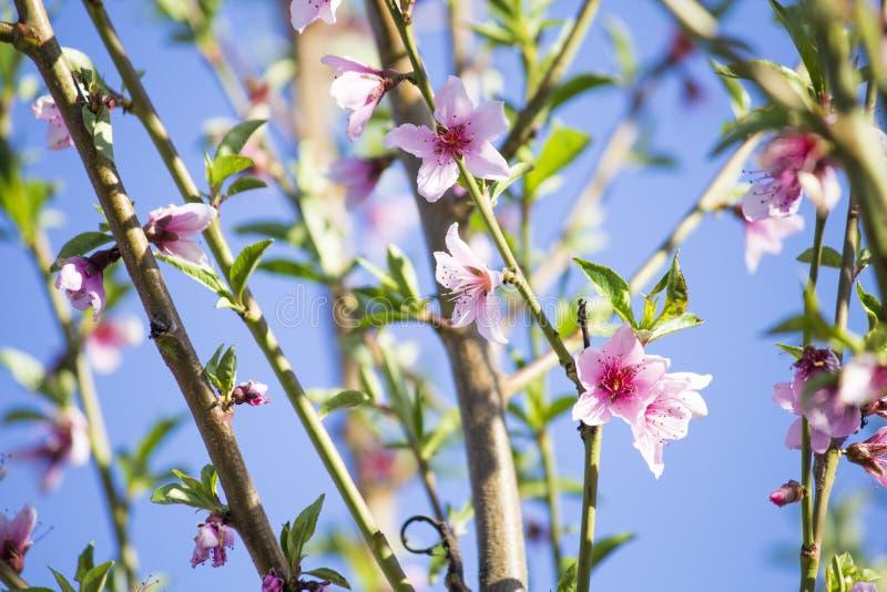 Kwiatonośny brzoskwini drzewo oddział zakwitnąć obrazy royalty free