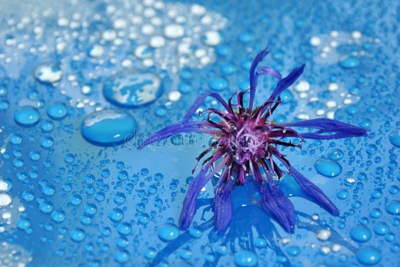 kwiatonośny chabrowy na błękitnym tła zakończeniu Wodna kropla zdjęcie stock