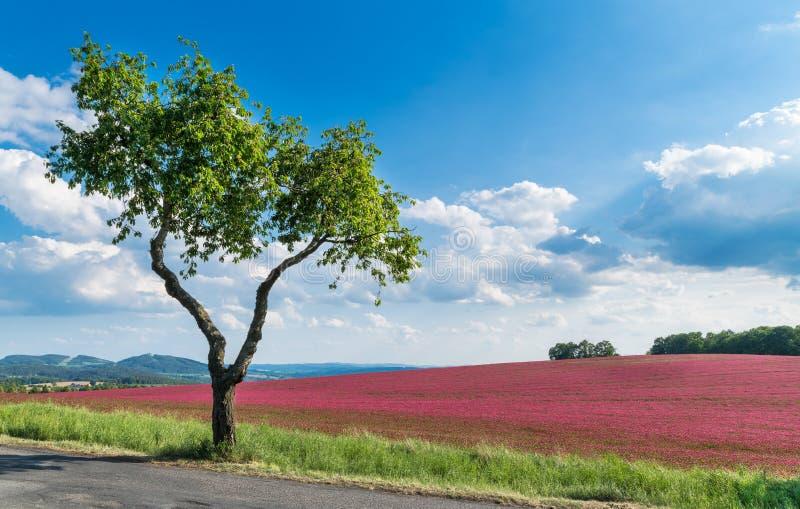 Kwiatonośny ciemnopąsowej koniczyny pole Samotny Czere?niowy drzewo Trifolium incarnatum Prunus avium zdjęcie stock