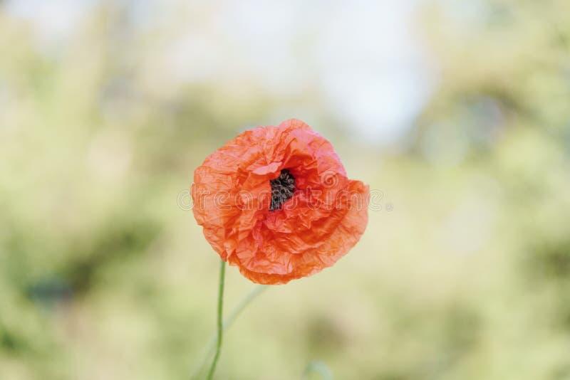 Kwiatonośny czerwony maczek na żółtym bokeh tle Jaskrawi i pi?kni kwitn?cy maczki w lecie fotografia royalty free