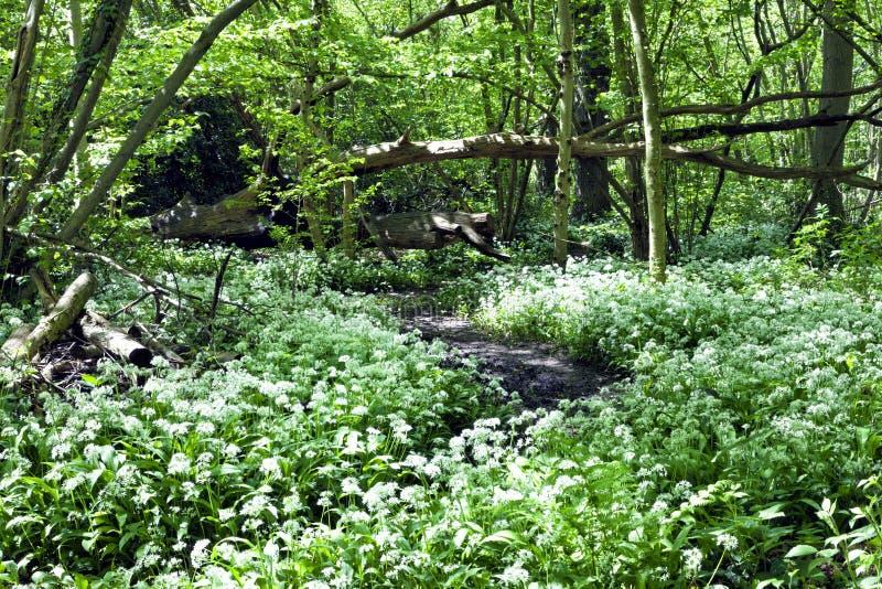 Kwiatonośny dziki czosnek w drewnach fotografia stock