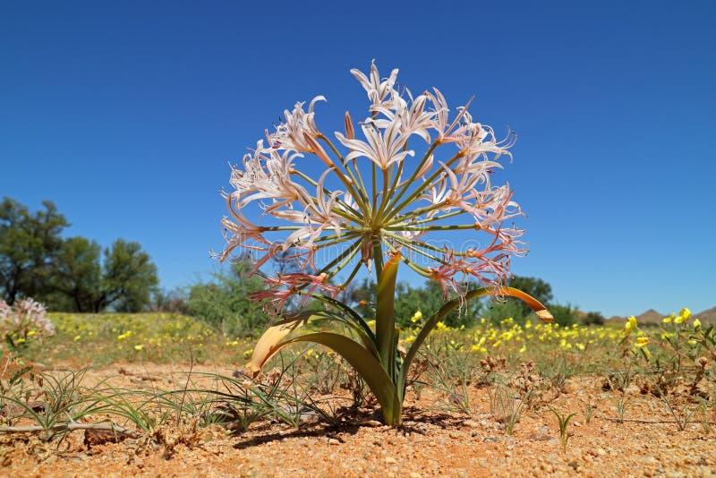 Kwiatonośny kandelabru kwiat - Namibia obrazy royalty free