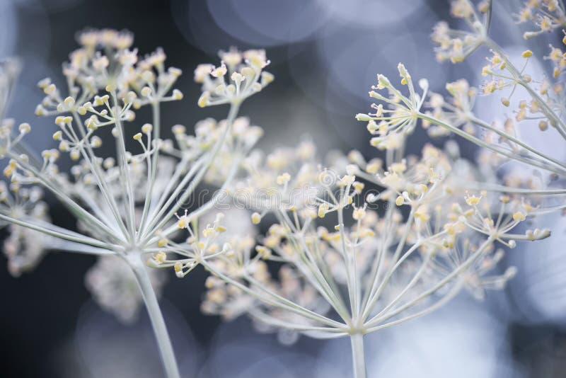 Kwiatonośny koper fotografia stock