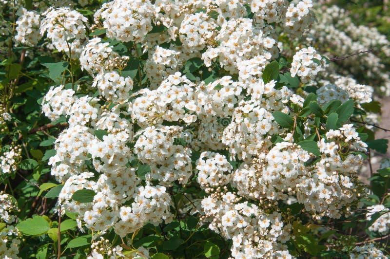Kwiatonośny krzak zdjęcie stock
