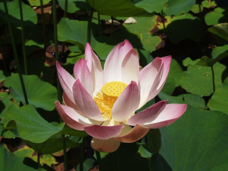 Kwiatonośny lotos zdjęcie stock