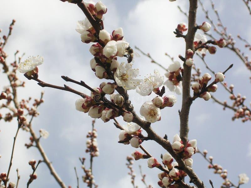 Kwiatonośny morelowy drzewo, biali kwiaty fotografia royalty free