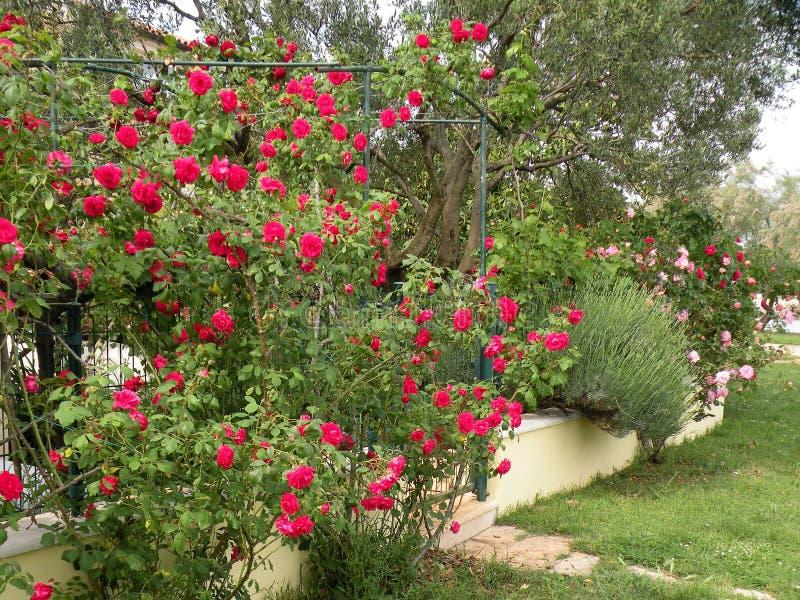 Kwiatonośny ogród z różami zdjęcie stock