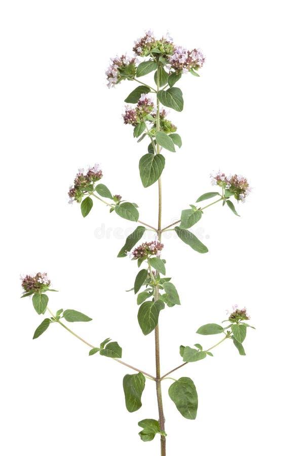 kwiatonośny oregano fotografia stock