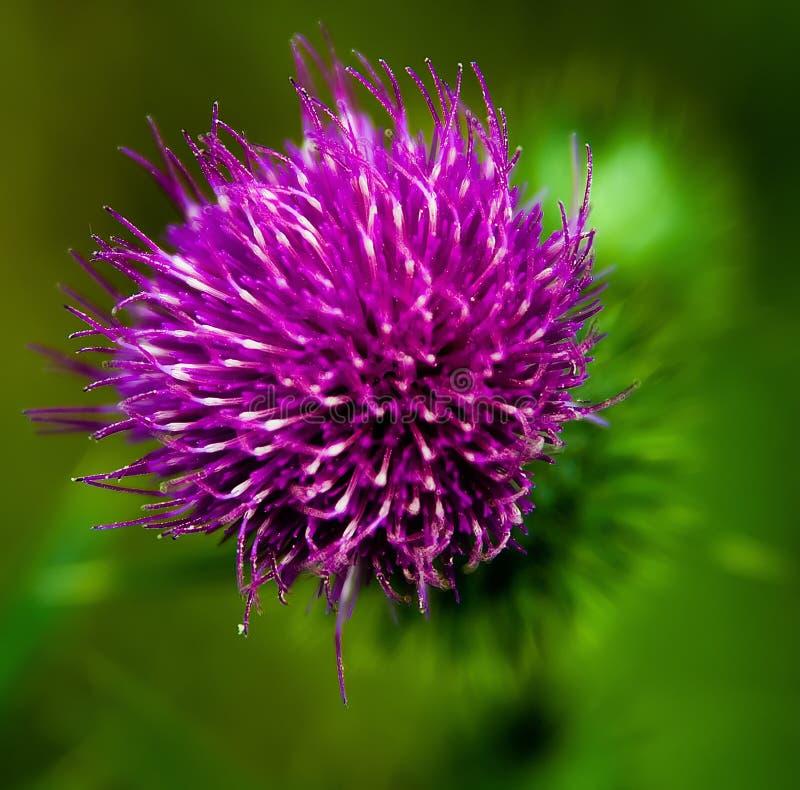 kwiatonośny oset obrazy stock