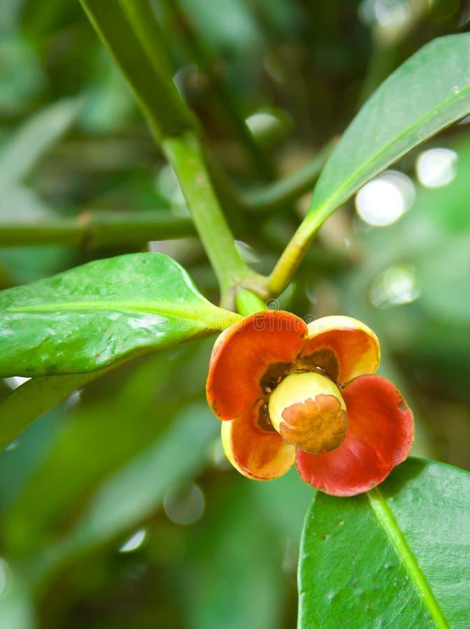 Kwiatonośny owocowy mangostan. fotografia stock