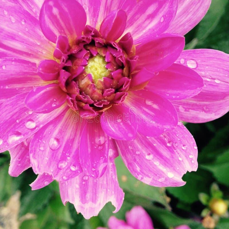 Kwiatonośny pączek zdjęcia royalty free