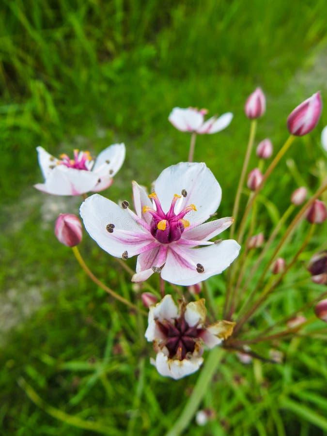 Kwiatonośny pośpiechu Butomus umbellatus kwitnienie na lecie obraz royalty free
