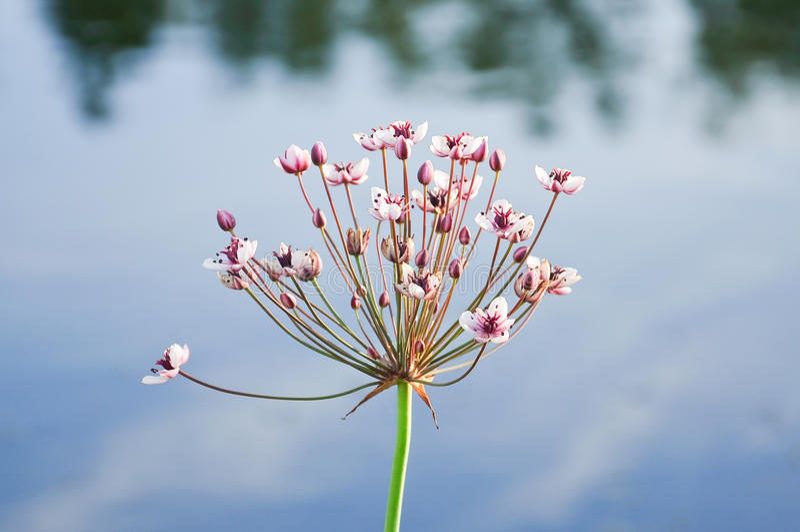 Kwiatonośny pośpiechu lub trawa pośpiechu Butomus umbellatus fotografia royalty free