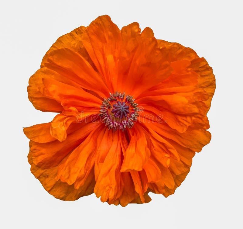 Kwiatonośny Pomarańczowy Makowy kwiat odizolowywający na bielu obrazy stock