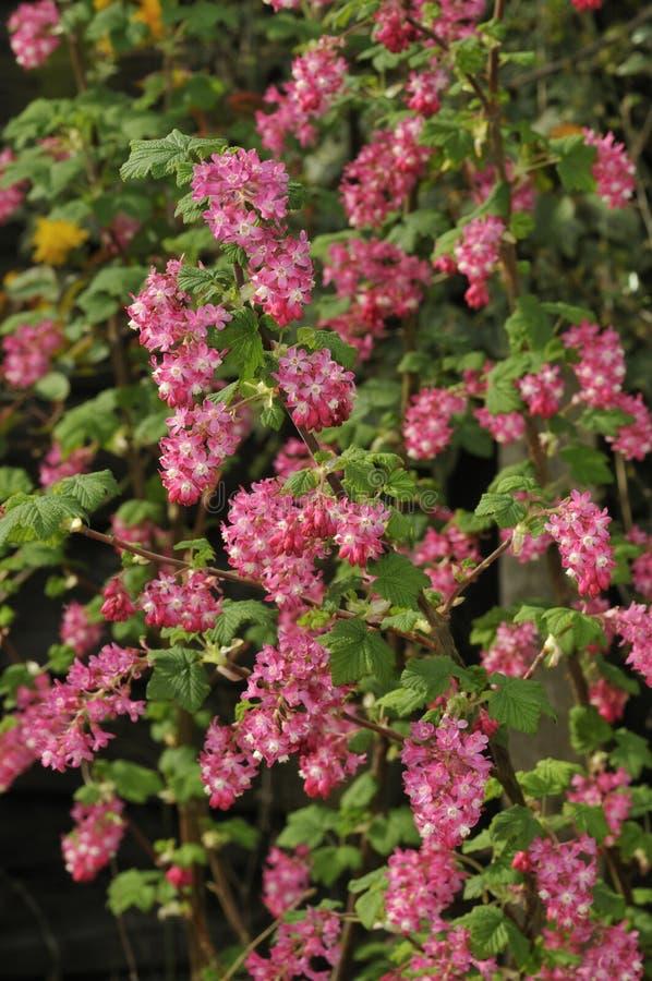 Kwiatonośny Porzeczkowy Bush fotografia stock