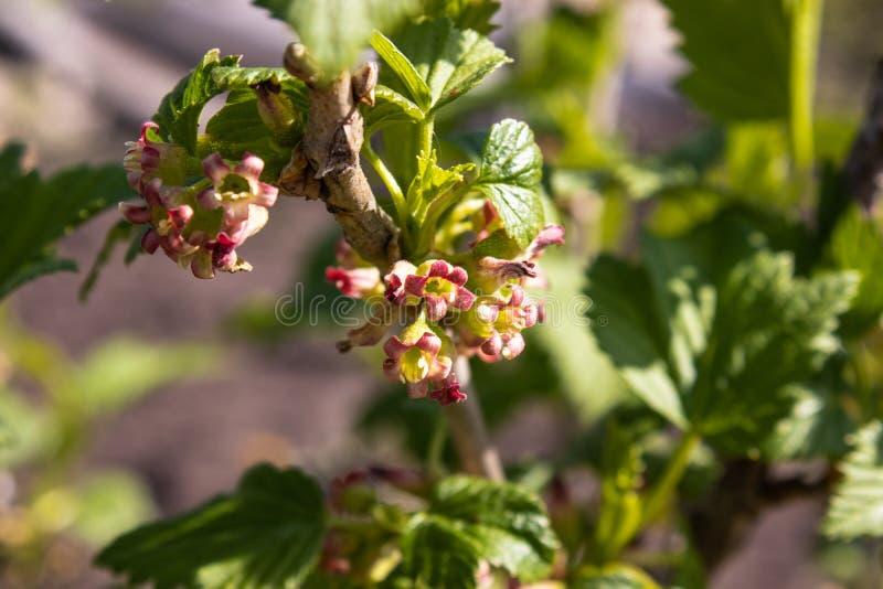 Kwiatonośny porzeczkowy krzak z zielenią opuszcza w ogródzie Kwitnący rodzynki fotografia stock