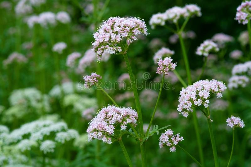 Kwiatonośny pospolity kozłek fotografia royalty free