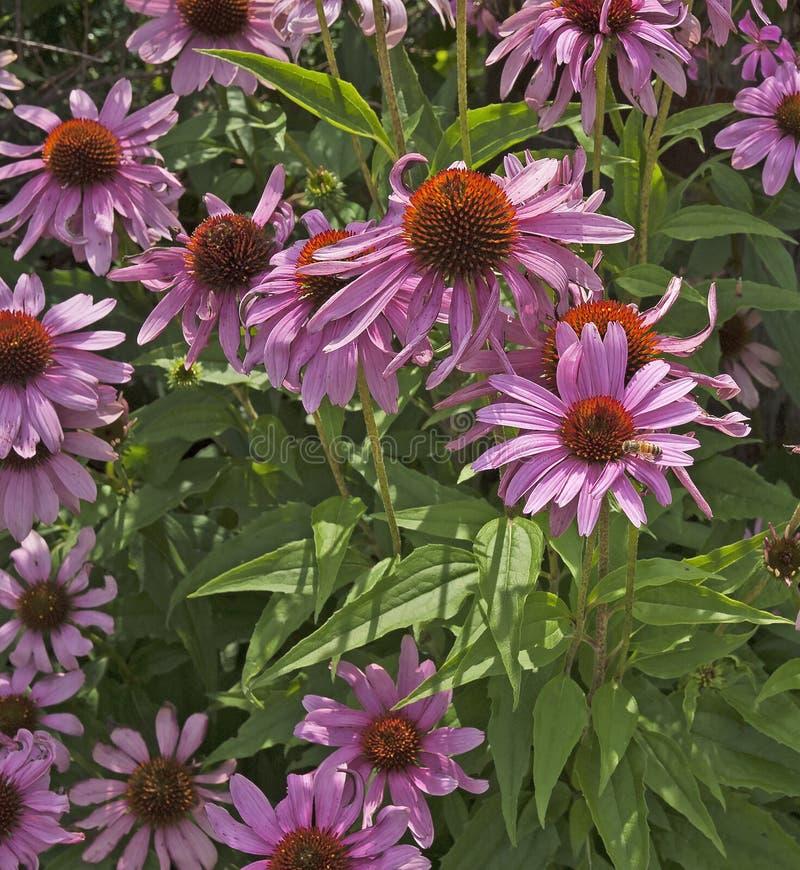 Kwiatonośny różowy Coneflower w ogródzie zdjęcie royalty free