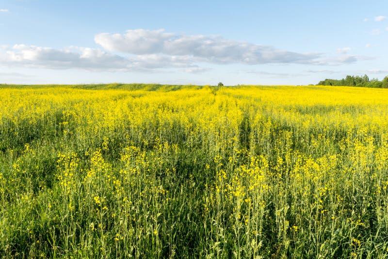 Kwiatonośny rapeseed pole, niebieskie niebo z chmurami podczas zmierzchu i, krajobrazowa wiosna zdjęcia stock