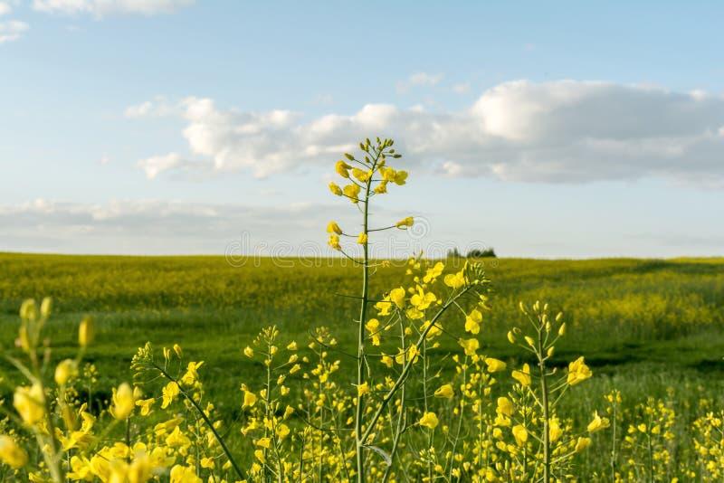Kwiatonośny rapeseed pole, niebieskie niebo z chmurami podczas zmierzchu i, krajobrazowa wiosna obraz royalty free