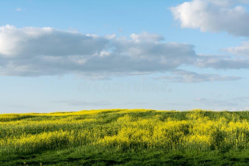 Kwiatonośny rapeseed pole, niebieskie niebo z chmurami podczas zmierzchu i, krajobrazowa wiosna obrazy stock