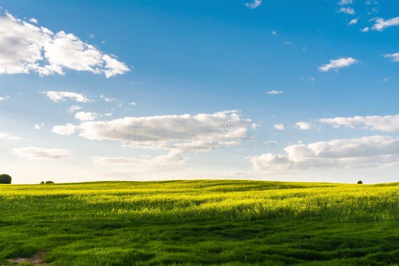 Kwiatonośny rapeseed pole, niebieskie niebo z chmurami podczas zmierzchu i, krajobrazowa wiosna zdjęcia royalty free