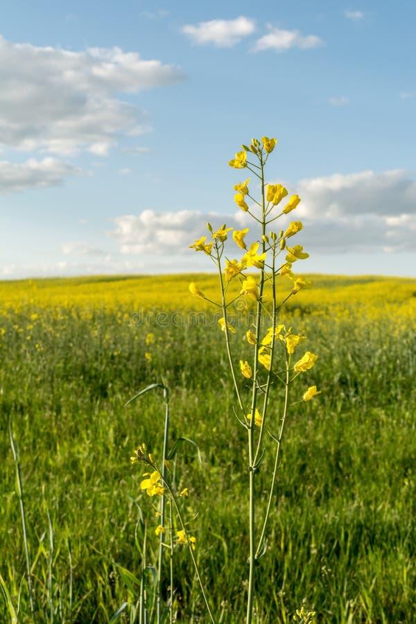 Kwiatonośny rapeseed pole, niebieskie niebo z chmurami podczas zmierzchu i, krajobrazowa wiosna obraz stock