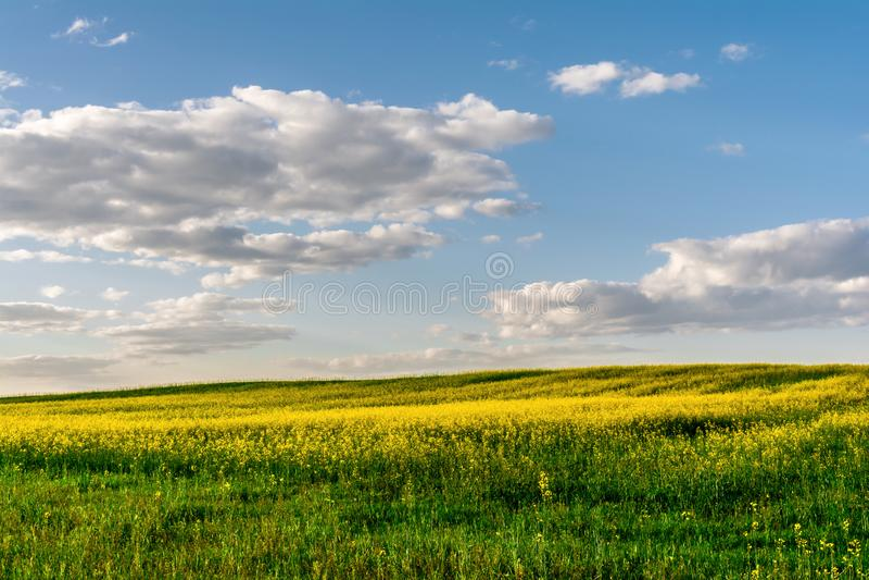 Kwiatonośny rapeseed pole, niebieskie niebo z chmurami podczas zmierzchu i, krajobrazowa wiosna fotografia stock