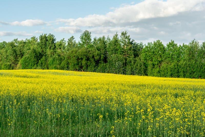 Kwiatonośny rapeseed pole, niebieskie niebo z chmurami podczas zmierzchu i, krajobrazowa wiosna obrazy royalty free