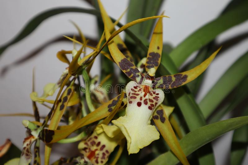 Kwiatonośny Storczykowy Brassia, barwiony kolor żółty, biel i brąz, zdjęcia stock