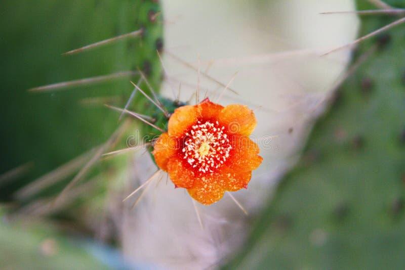 Kwiatonośny Tłustoszowaty kaktus z igłami, Zamyka Up zdjęcia stock